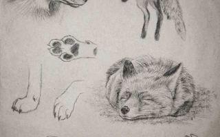 Мастер-класс о том, как нарисовать лису