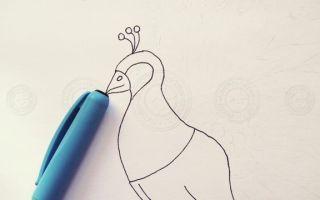 Инструкция о том, как нарисовать павлина