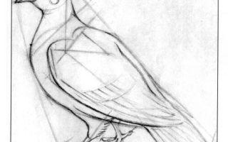 Пошаговая инструкция о том, как нарисовать голубя