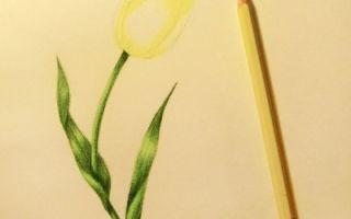 Пошаговые советы о том, как нарисовать тюльпан