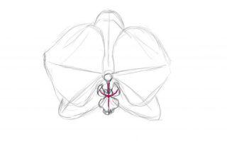 Узнаем о том, как нарисовать орхидею